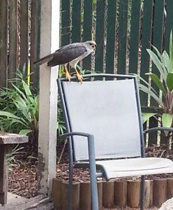 hawk Australia