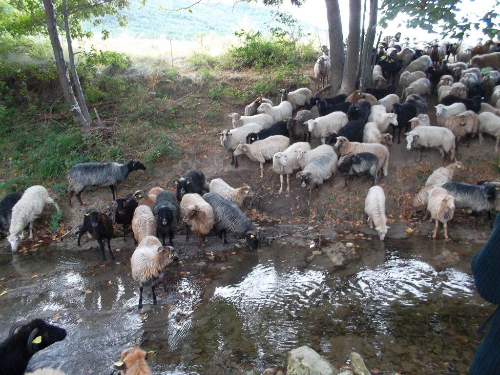 glückliche Schafe am Fluss
