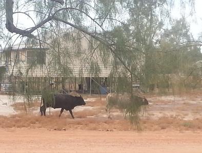 bulls on street