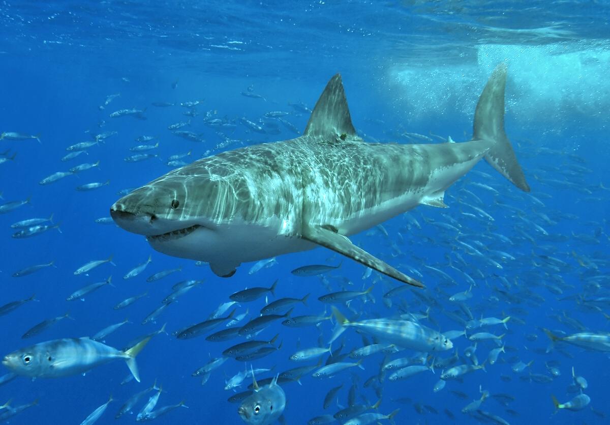 weiße haie australien bucket list