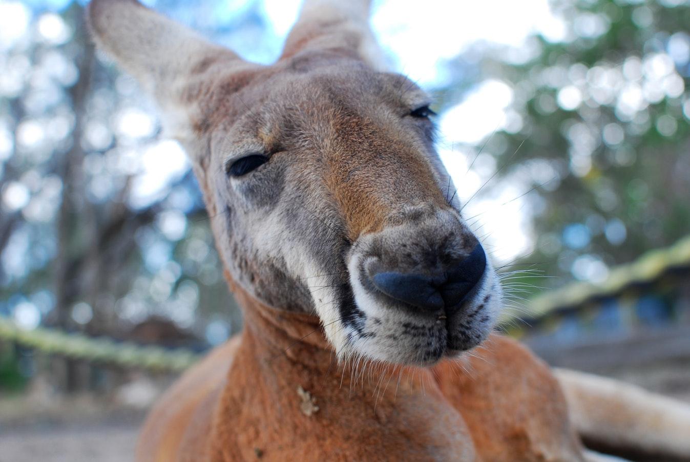 boxer känguru bucket list