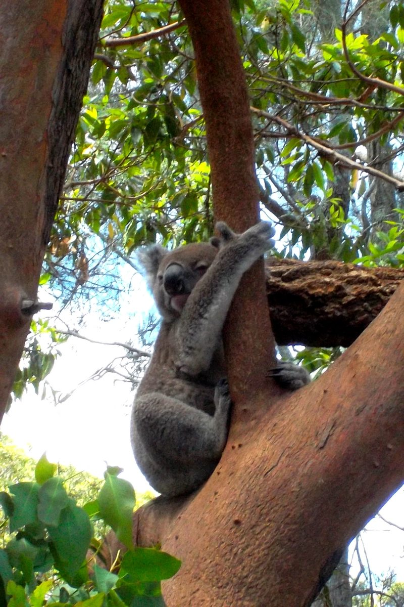 koala australien bucket list