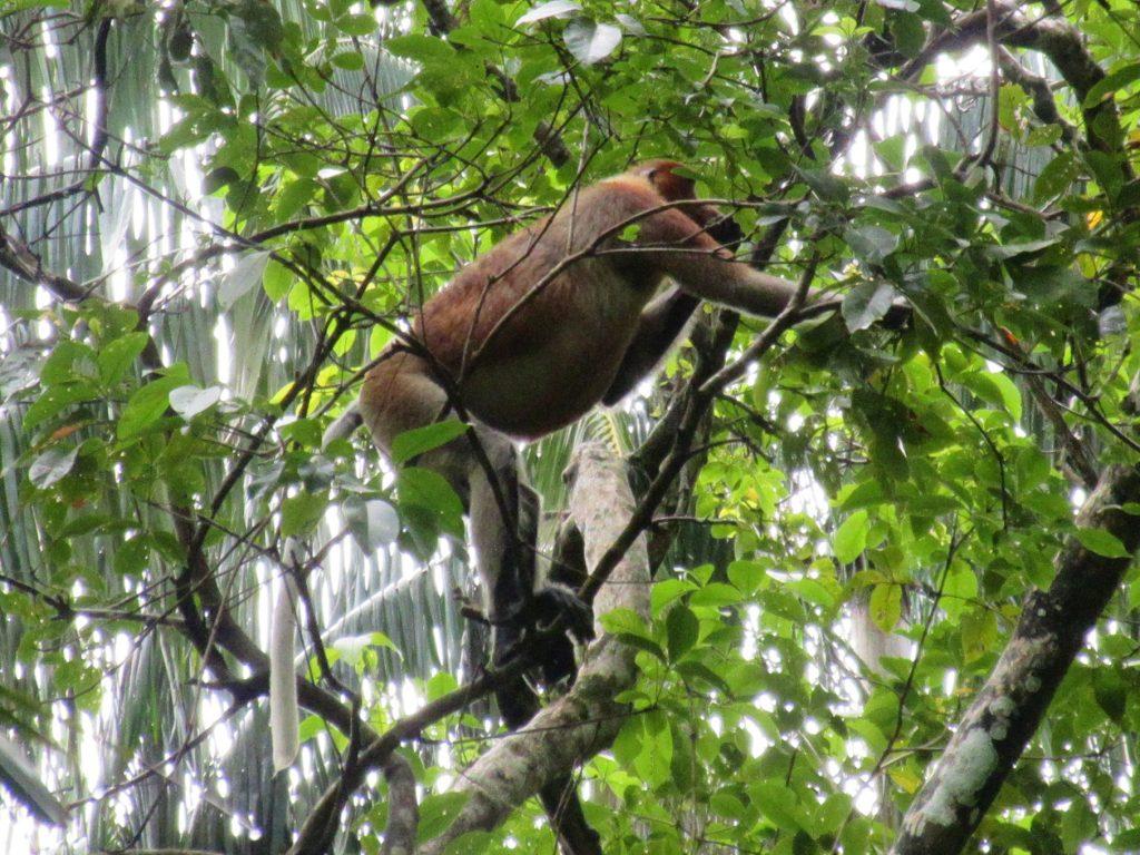 Proboscis Monkey in Bako