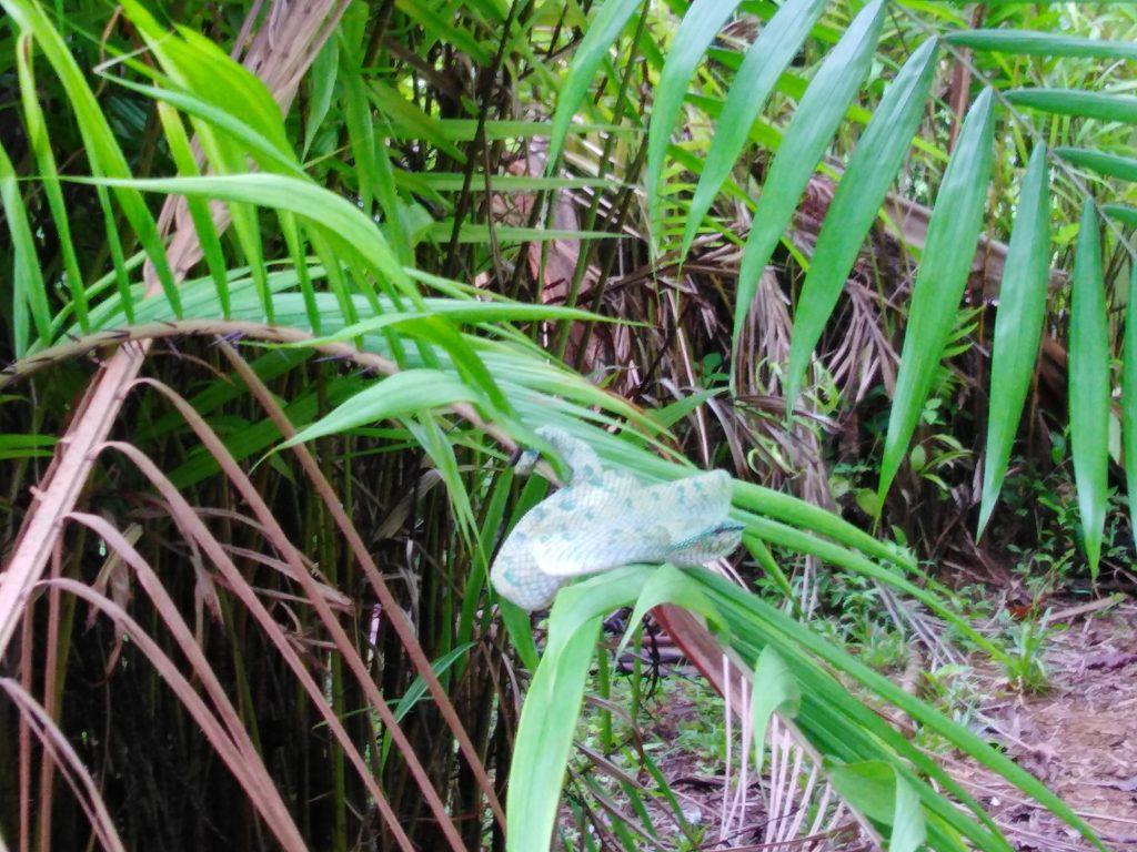Green Viper in Bako